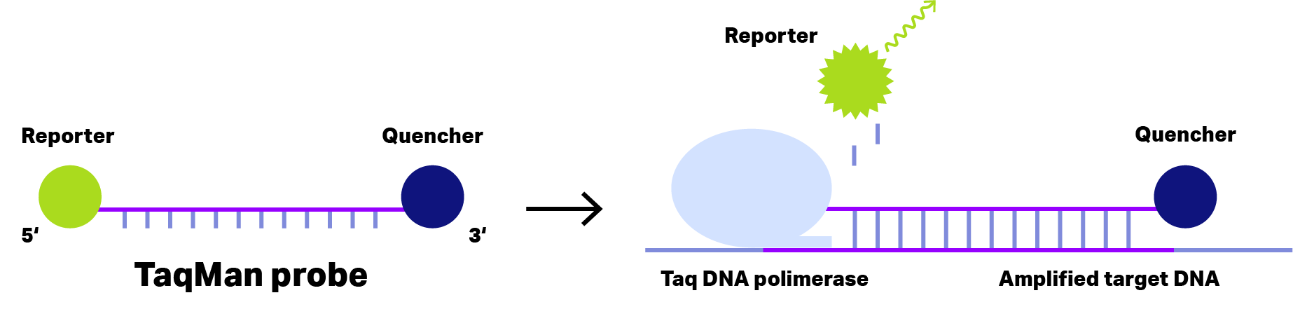 DNA probe TaqMan in solution and after binding to target DNA.