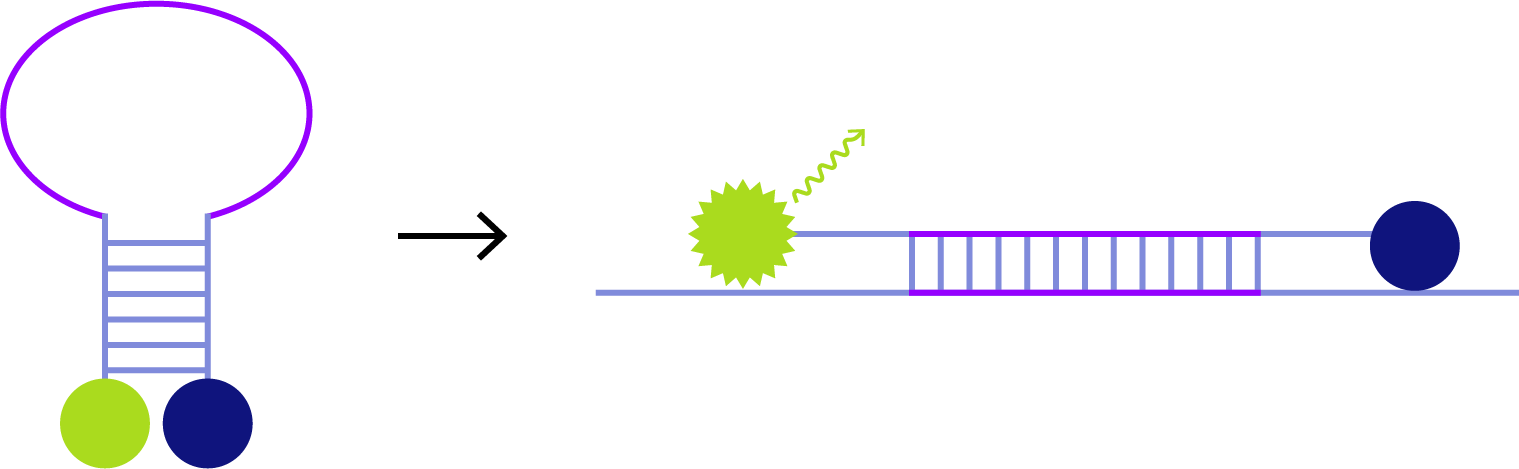 Molecular Beacon probe binding to target DNA. This seperates Reporter an quencher to a distance, so the emitted reporter signal is no longer absorbed from quencher.